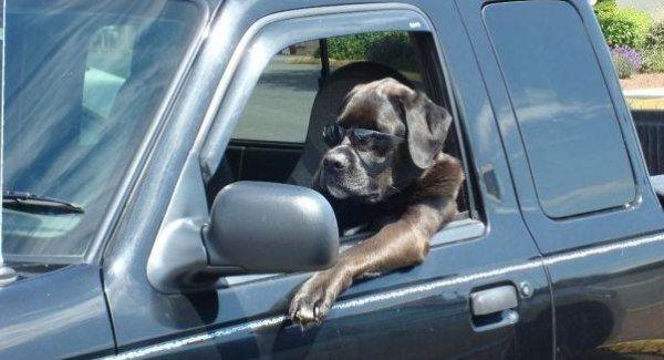 Driving_Dog